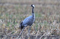 Common cranes in the field Mecklenburg Germany