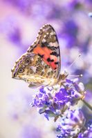 A lovely butterfly sits on a lavender flower in a summer garden