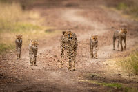 Cheetah walks down track with four cubs
