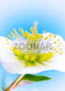 Macro of a christmas rose flower blossom