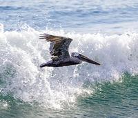Brown Pelican Adult in Flight.
