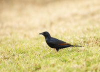 Red-winged starling, Onychognathus morio, Kenya, Africa.