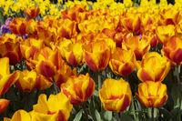 Tulpen (Tulpia)