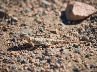 Toad-headed agamas Phrynocephalus in natural environment of mongolian desert sits on grave in Mongolia desert.