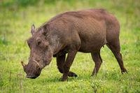 Warthog walking across grassy field in sunshine