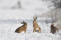 Tanz der Hasen... Feldhasen * Lepus europaeus *, kleine Gruppe im Schnee