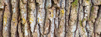 Oak tree bark, close up view. Sample of texture, background in banner format