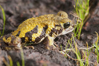 Amboli toad - Xanthophryne tigerina is a species of amphibian endemic to the Western Ghats of India