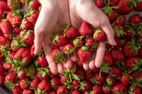 Many healthy fresh strawberries on woman hands, focus on strawberry. Top view