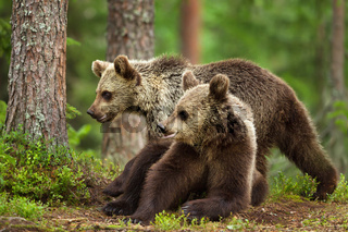 Two young Eurasian brown bears in forest