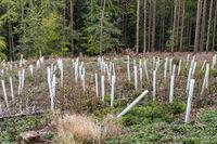 Aufforstung in einem Waldstück