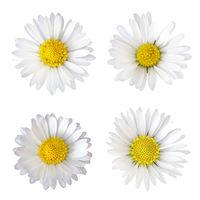 Vier Gänseblümchen (Bellis perennis), freigestellt auf weißem Hintergrund