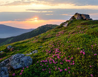 Pink rose rhododendron flowers on sunset summer mountain top
