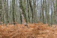 Totes Moor - Birkenwald mit Adlerfarn, Deutschland