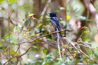 Madagascar bird Paradise-flycatcher, wildlife