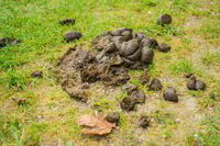 A heap of horse dung on the green field