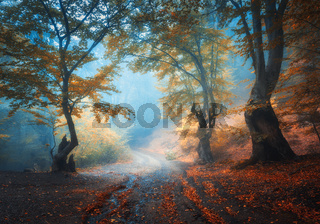 Autumn forest with dirty road in fog. Trees in fall