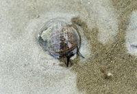 Gemeine Strandschnecke (Littorina littorea) im seichten Wasser, Wattenmeer,Deutschland