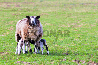 Sheep with suckling newborn lambs in meadow