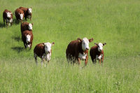 Cattle Running Towards Camera