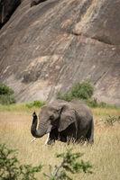 African elephant lifts trunk by sunlit kopje