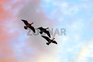 Migratory geese against the sky.