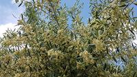 Blühender Olivenbaum im Alentejo in Portugal