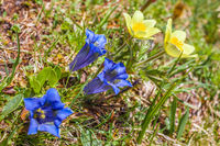 Stemless Gentian (Gentiana acaulis) and Narcissi (Anemone narcissiflora)