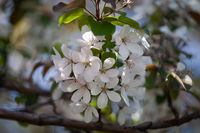 white flower of apple tree close up, background blurred