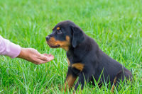 Rottweiler puppy in grass gets food on hand