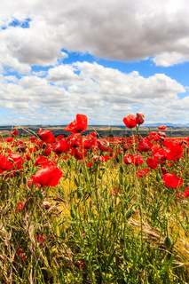 Poppy field and clouds, Granada Province, Spain