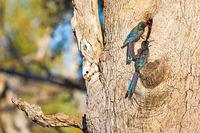 Baumhopfe, Liwonde Nationalpark, Malawi, (Phoeniculus purpureus)  |  green wood hoopoes, Liwonde National Park, Malawi, (Phoeniculus purpureus)
