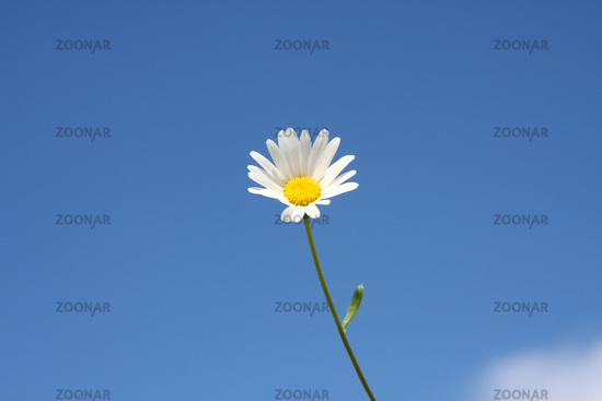 marguerite flower and the blue sky background