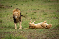 Lion stands over lioness rolling on back