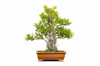 banyan bonsai isolated