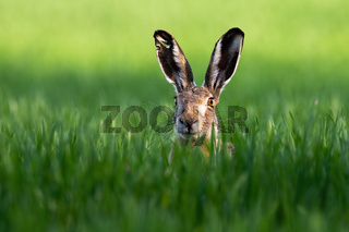 Close-up of brown hare, lepus europaeus, peeking out from green grass in nature