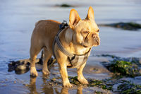 Young Frenchie standing at the beach.