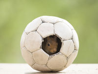 red squirrel sitting in a football