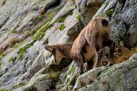 Gäme im Nationalpark Mercantour