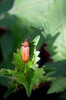 Käfer, Rothalsbock auf grünem blatt