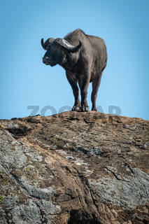 Cape buffalo standing on rock against sky