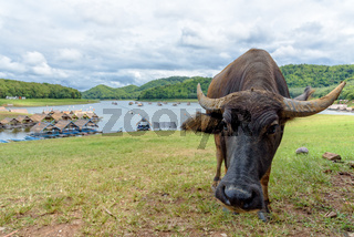 Buffalo at Huai Krathing Reservoir