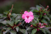 Pink New Guinea Impatiens