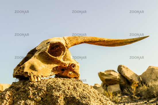 Dry Goat Skull Bone, Goat Skull background in the desert