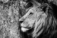 Mono close-up of male lion by tree