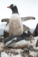 female Gentoo Penguin sitting on a nest against the background of a male who spread her wings on a cloudy spring day