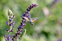 butterfly like Hummingbird, Northern Hummingbird