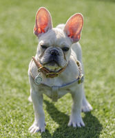 White Puppy female Frenchie showing her translucent see through ears.
