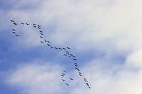 vogelzug formation himmel