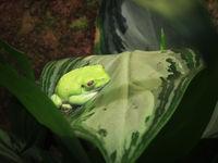 kleiner grüner Baumfrosch